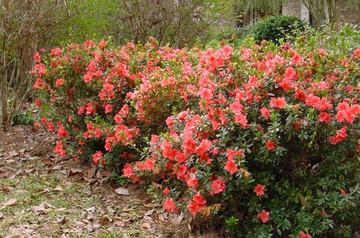 Azalea Autumn Coral®