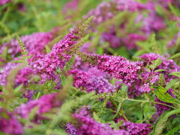 Buddleia Lo & Behold Ruby Chip®
