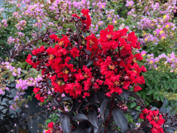 Lagerstroemia Center Stage™ Red (Crape Myrtle)