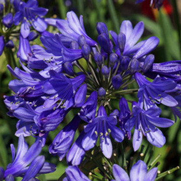 Agapanthus Ever Sapphire™ (Lily of the Nile)