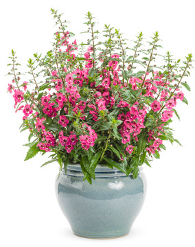 Angelonia Angelface® Perfectly Pink (Summer Snapdragon)