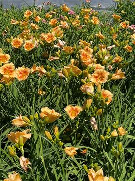 Hemerocallis Playground (Daylily)