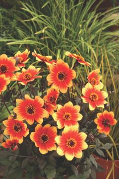 Dahlia Happy Days® Orange and Red Bicolor