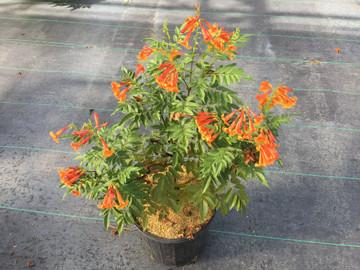 Tecoma Chicklet™ Orange (Esperanza)