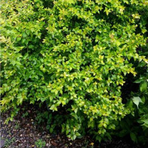 Abelia Canyon Creek Gardens Direct