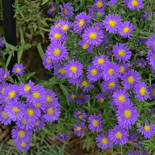 Aster Kickin® Purple