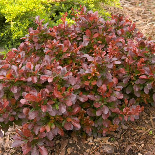 Barberry Cabernet®