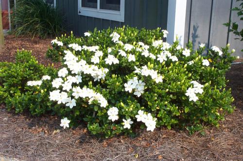 Gardenia Kleim S Hardy Gardens Direct