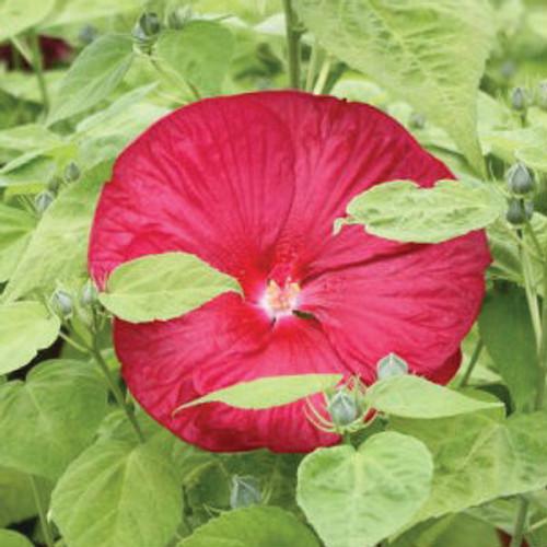 Hibiscus Luna Red Gardens Direct