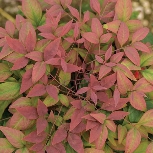 Nandina Blush Pink™