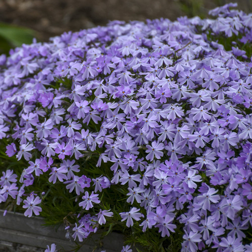 Creeping Phlox Emerald Blue