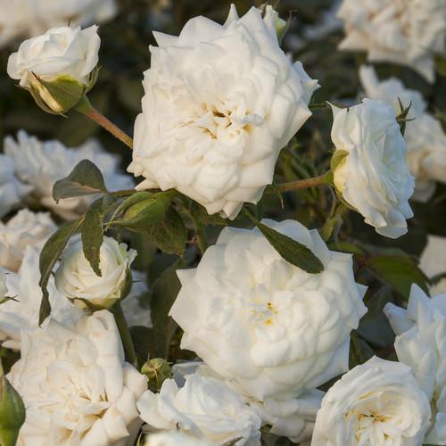 Rose White Drift®