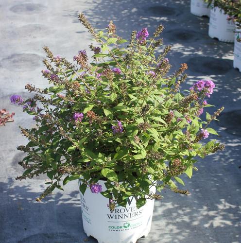 Butterfly Bush Lo Behold Blue Chip Jr Gardens Direct