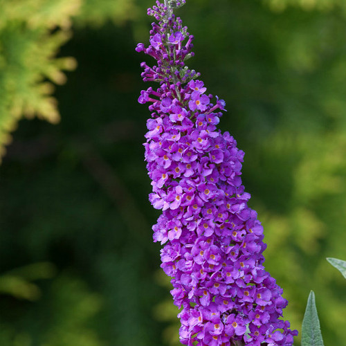 Butterfly Bush Miss Violet