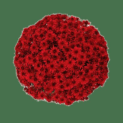 Belgian Mums® Amadora Red
