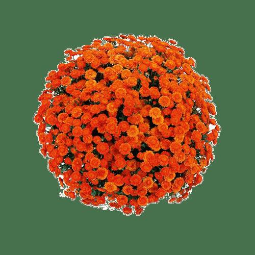 Belgian Mums® Izola Orange