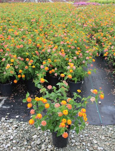 Lantana Miss Huff Gardens Direct
