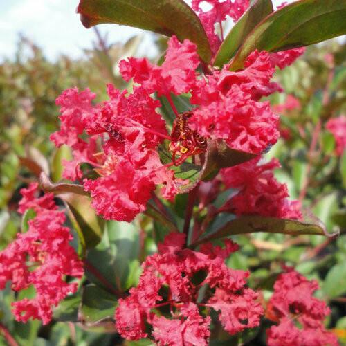 Crape Myrtle Enduring Summer™ Red
