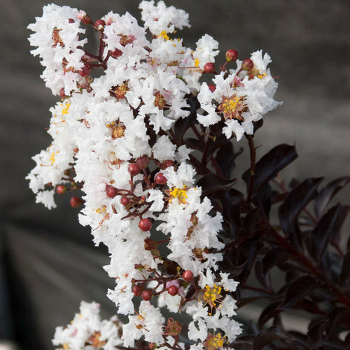 Crape Myrtle Moonlight Magic™