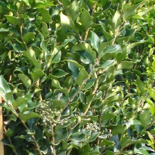 Japanese Privet Recurvifolium