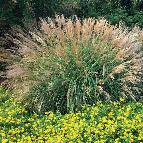 Dwarf Maiden Grass Adagio