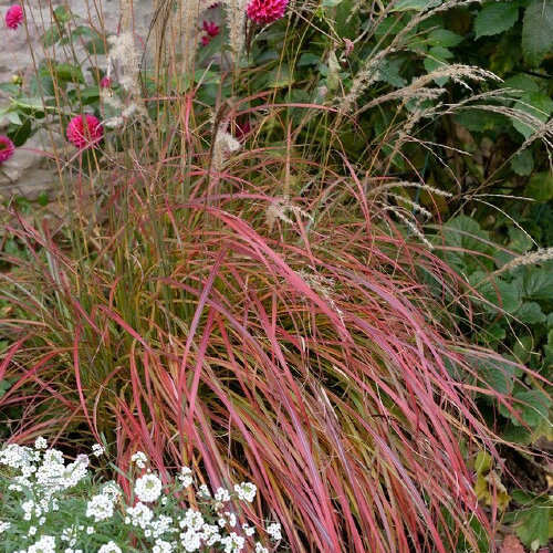 Dwarf Maiden Grass Little Miss