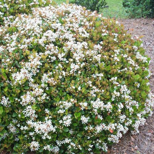 Indian Hawthorn Snow White Gardens Direct