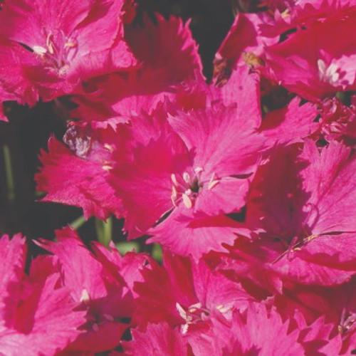 Pinks Vivid™ Bright Light