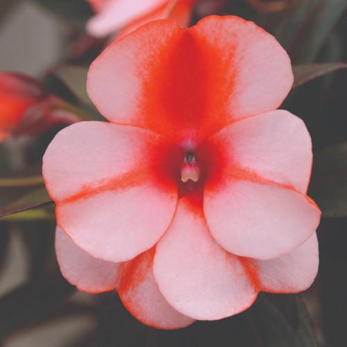New Guinea Impatien Clockwork™ Orange Stripe