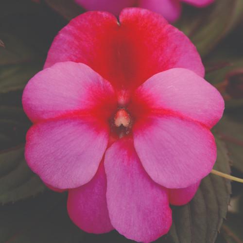 New Guinea Impatien Clockwork™ Pink Star