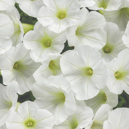 Petunia Supertunia® White Charm