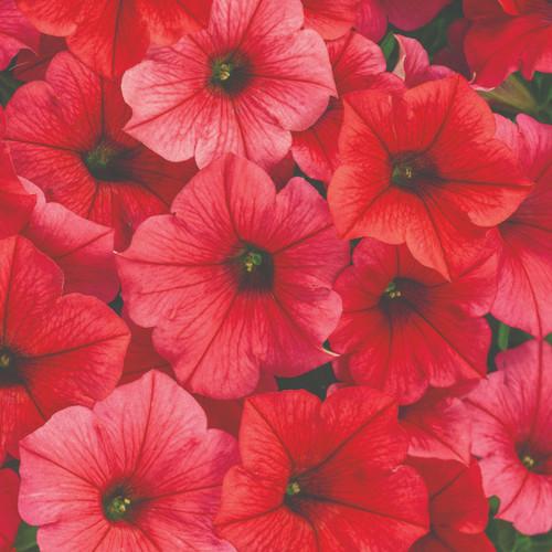 Petunia Supertunia Vista® Paradise