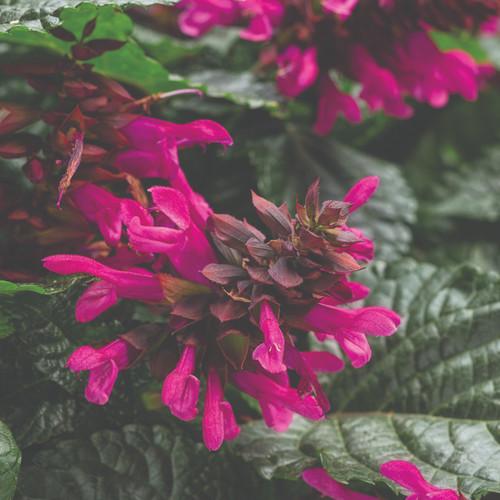 Sage Rockin'® Fuchsia