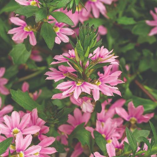Fan Flower Whirlwind® Pink