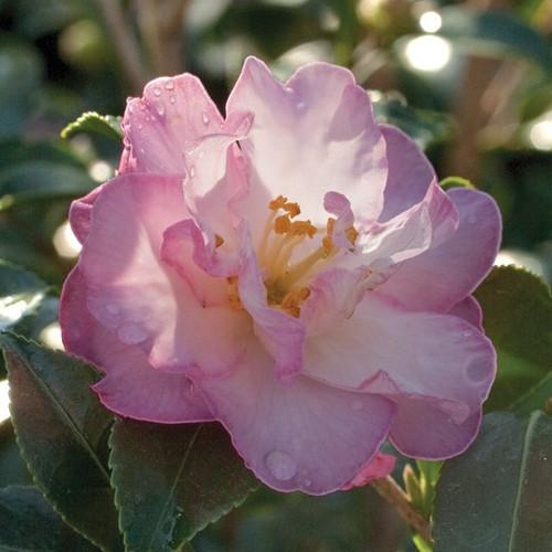 October Magic® Orchid™ Camellia