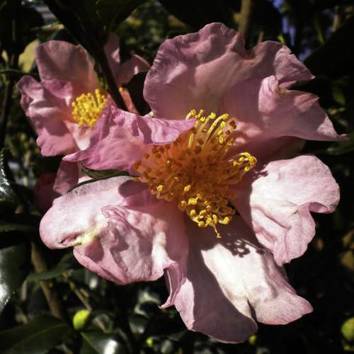 Camellia Cleopatra