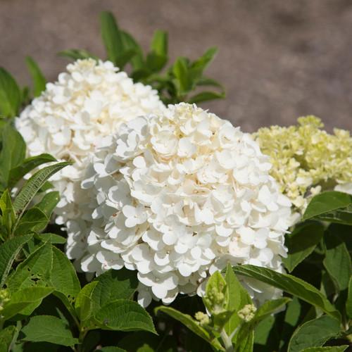 Hydrangea White Wedding®