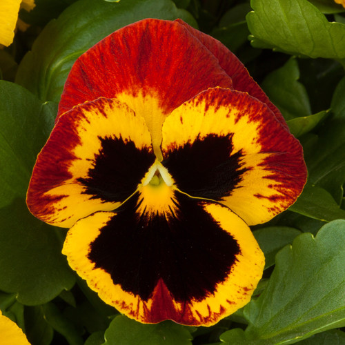 Pansy Majestic Giants II Fire Blotch
