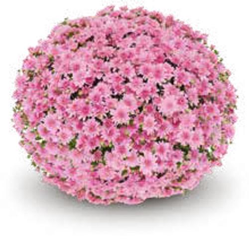Belgian Mums® Fonti Pink