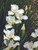 Siberian Iris White Swirl