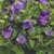 Balloon Flower Twinkle™ Blue