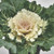 Osaka White Ornamental Cabbage