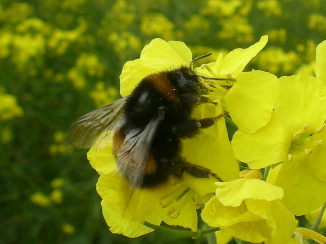 Neonic pesticides threaten wild bees' spring breeding, study finds