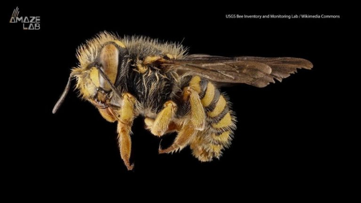 RESEARCHERS DISCOVER HONEY BEE GYNANDROMORPH WITH TWO FATHERS AND NO MOTHER.