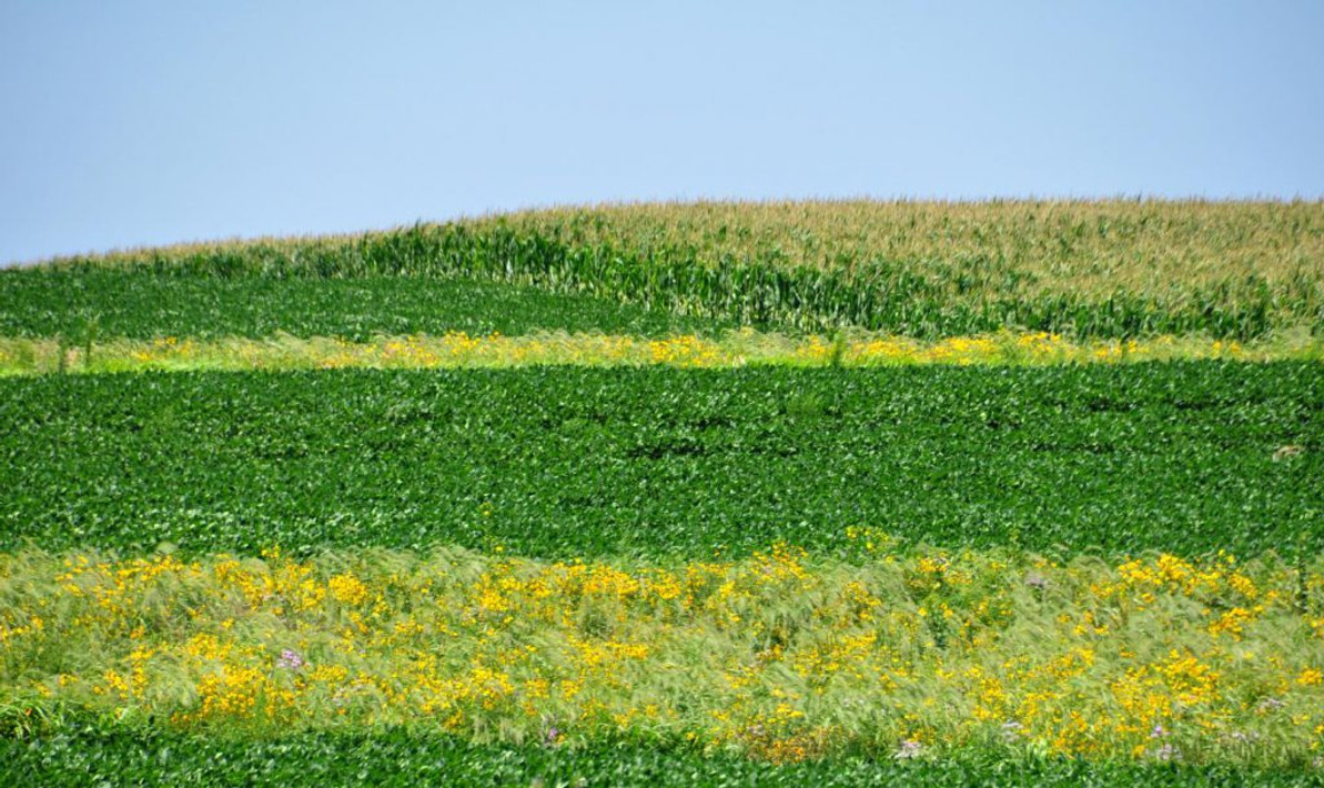 Prairie Strips Transform Farmland Conservation Converting Low-Profit Land Brings Big Returns