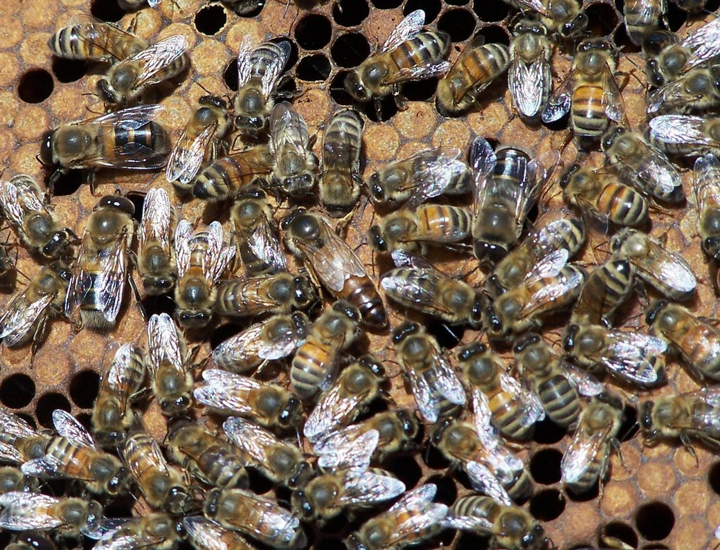 There is a Protein in Royal Jelly that Causes Bee Stem Cells to Renew Themselves, So Queen Bees are Bigger and Contain More Cells Than Worker Bees