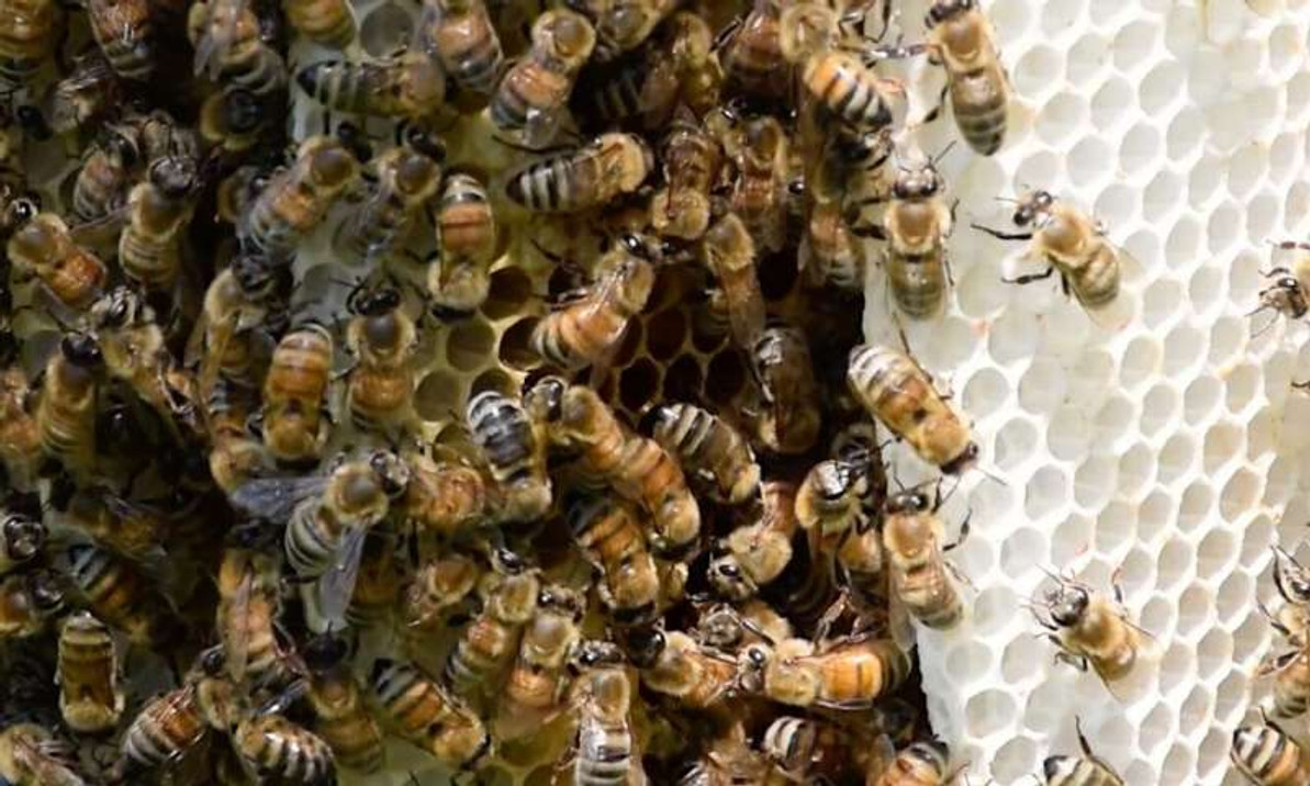 The Self-Grooming Behavior of Honey Bees Can Be Affected By Pesticides.