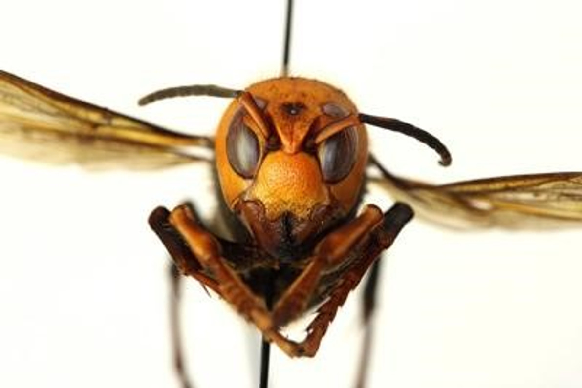 Tracking the Asian Giant Hornet