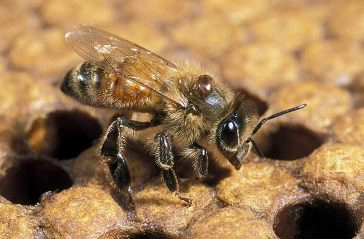 Controlling Varroa – 89% of Large-Scale Beekeepers Said They Use Chemical Varroacides, While 61% Of Small-Scale Beekeepers Do
