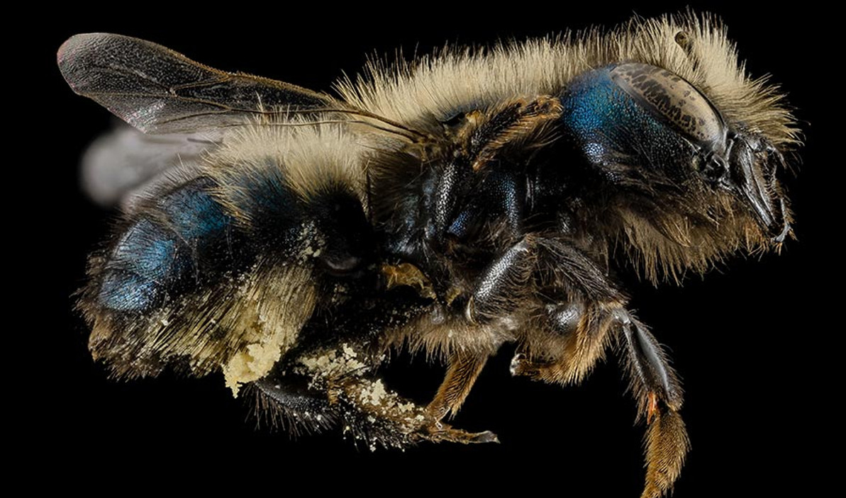 FARMERS, SCIENTISTS AND BEEKEEPERS ARE WORKING TO RAISE BLUE ORCHARD MASON BEES TO POLLINATE VALUABLE ORCHARD CROPS.